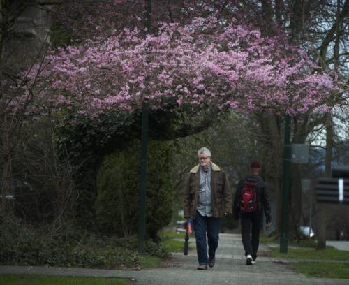 "Arlen Redekop - ""Cherry blossoms..."""